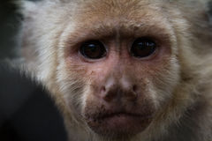 White-Faced or Capuchin Monkey - Cebus capucinus. Close up of the face of a white faced capuchin monkey in a zoo in Panama Stock Photography