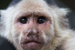 White-Faced or Capuchin Monkey - Cebus capucinus. Close up of the face of a white faced capuchin monkey in a zoo in Panama Stock Images