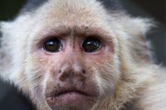 White-Faced or Capuchin Monkey - Cebus capucinus Stock Images