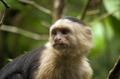 White-faced Capuchin Monkey looking away Stock Image