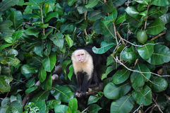 White Faced Capuchin Monkey in Manuel Antonio National Park, Cos Stock Image