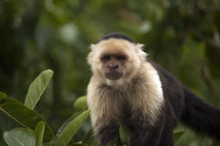 Capuchin Monkey Stock Photos