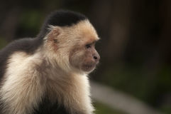 White-faced Capuchin Monkey sitting in the leaves, Ometepe, Nicaragua Stock Photo