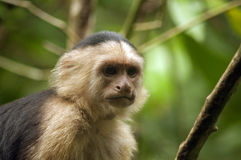 White-faced Capuchin Monkey staring into the distance Royalty Free Stock Image
