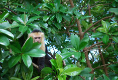 White faced capuchin monkey on a tree Royalty Free Stock Photos