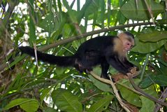 White-Faced Capuchin Monkey. A white-faced capuchin monkey in the trees of Manuel Antonio National Park in Costa Rica Stock Images