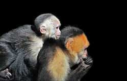 White-faced Capuchin monkeys Royalty Free Stock Photo