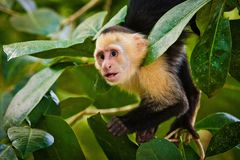 White faced capuchin in national park in Central America. Costarican monkeys, courious look, courious monkey in Manuel Antonio NP stock photos