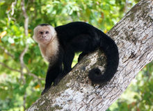 White-faced Capuchin Royalty Free Stock Image