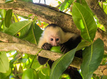 White faced capuchin. Small baby white faced capuchin monkey in tree chewing on some fruit while looking directly at the camera royalty free stock photo