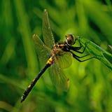 White faced darter dragonfly, leucorrhinia dubia Royalty Free Stock Photo