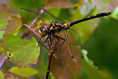 White faced darter dragonfly, leucorrhinia dubia royalty free stock photography