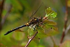 White faced darter dragonfly, leucorrhinia dubia Stock Photography