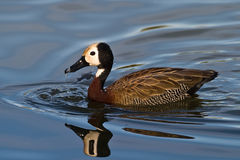 White faced Duck Royalty Free Stock Photography