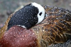 White-faced Duck in the Rain Stock Photography