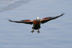 White faced duck with spread wings over water Royalty Free Stock Photography