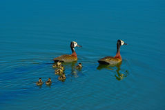 White-faced Ducks Stock Image