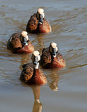 White faced ducks Royalty Free Stock Images