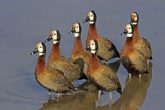 White-faced Ducks Stock Photos