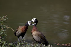 White Faced Ducks Royalty Free Stock Photo