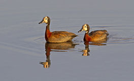 White-faced Ducks Royalty Free Stock Photo