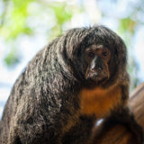 White-faced/Guianan saki monkeys Royalty Free Stock Photography