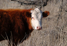 White Faced Hereford Cow Royalty Free Stock Image