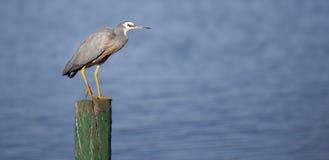 White faced heron Royalty Free Stock Image