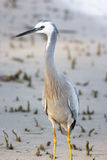 White Faced Heron stock photos