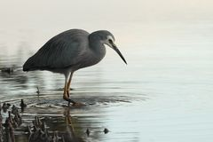 White faced heron Royalty Free Stock Photography