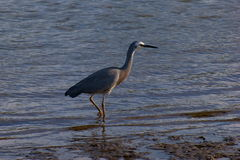 White-faced Heron Royalty Free Stock Images