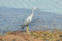 White-faced Heron, Australia stock photography
