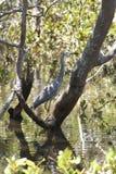 White faced Heron Australian bush bird in shallow water stock photography