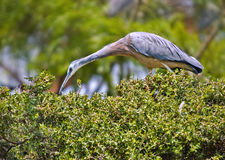 White faced heron bird Stock Photo