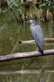 A white-faced heron Royalty Free Stock Photography