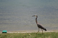 White-faced Heron (Egretta novaehollandiae) Royalty Free Stock Image