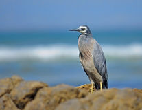 White-faced heron (Egretta novaehollandiae) Stock Photos
