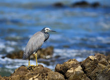 White-faced heron (Egretta novaehollandiae) Stock Images