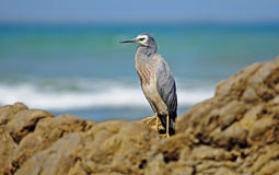 White-faced heron (Egretta novaehollandiae) Stock Photography