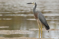 White-faced heron (Egretta novaehollandiae) Royalty Free Stock Images