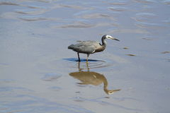 White-Faced Heron (Egretta Novaehollandiae) Royalty Free Stock Photo