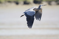 White-Faced Heron (Egretta Novaehollandiae) Royalty Free Stock Photography