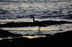 White-Faced Heron Fishing Silhouette Royalty Free Stock Images
