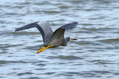 White-faced heron flying across a lake Stock Images
