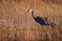 White Faced Heron in grassy swamp in New Zealand. Birs of new zealand, birdwatching stock photography