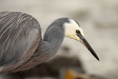 White-faced Heron Hunting Stock Photos