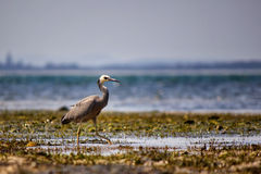 White-Faced Heron Stock Image