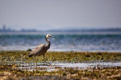 White-Faced Heron Stock Image