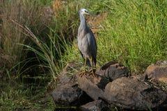 White Faced Heron. Native Australia waterfowl found throughout Australia often found on dams  lakes and coastline Stock Image