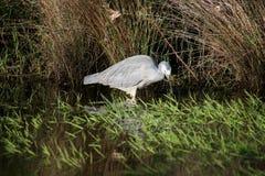 White Faced Heron Stock Photo